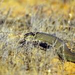 L'attention doit être à son comble lorsque l'on s'embarque dans le bush. Ici nous pensons reconnaître un Western Brown snake, l'espèce la plus meurtrière en Australie. Sans moyens de communication sur les routes esseulées, nous n'avons pas le droit à l'erreur.