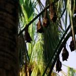Tranquillement installées la tête en bas, ces chauves-souris se reposent, bien à l'abri sous les palmiers, durant la journée. Chut !! Ne les réveillons pas, elles risqueraient de s'envoler !!