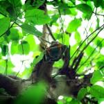 Portrait de cet habitant surprenant de la jungle. Nous n'aurions pas pensé rencontrer des chauve-souris dans les palmiers mais il faut avouer qu'elles offrent de quoi faire de jolies photos.