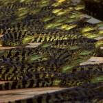 En visite à Khlong Yai, Addie et Micha en on profité pour nous faire visiter une ferme au crocodile qu'un de leur ami exploite. Plus de 6000 crocodiles sont ici élevés pour leur viande, mais aussi et surtout pour leur peau. Des sacs à main et des chaussures par milliers en perspective. Au final, comme nos élevages de vaches, cette ferme permet de ne pas aller chasser et éteindre une espèce dans leur milieu naturel.