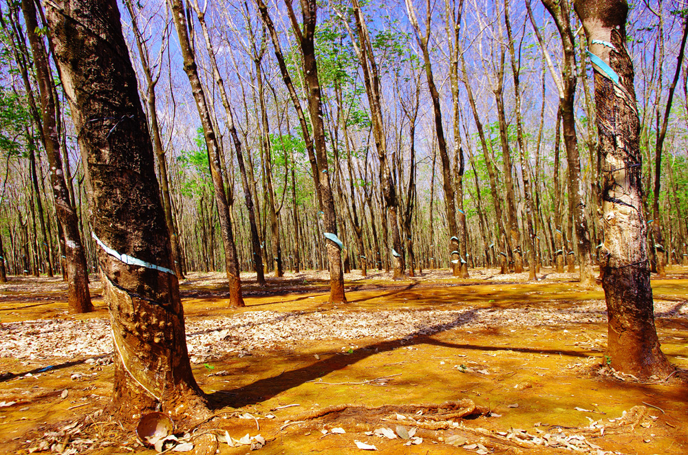 Exploitation d'hévéas, l'arbre à caoutchouc. Le Vietnam compte parmi les plus gros producteurs mondiaux de caoutchouc. La sève de l'arbre (le latex) est la matière extraite, coulant le long du tronc et recueillie dans un bol à son pied. Originaire d'Amazonie, cet arbre est surtout exploité aujourd'hui dans les climats tropicaux d'Asie.