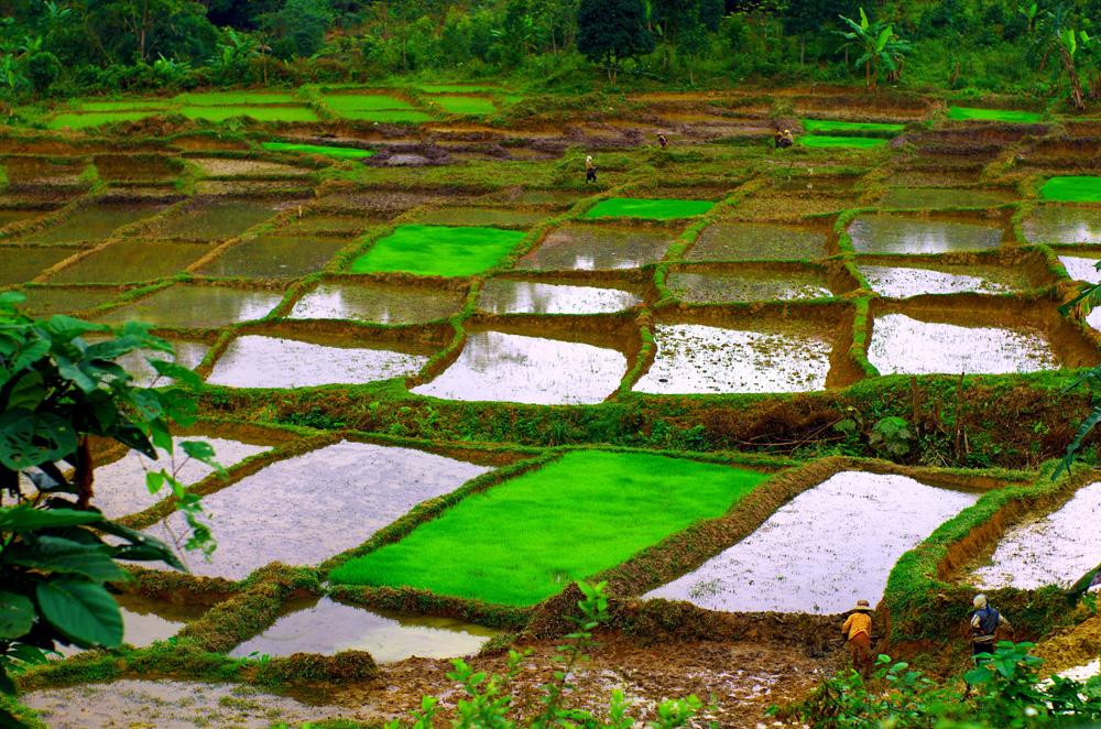 Les rizières en exploitation, offrent un spectacle et un décor époustouflant. Les couleurs, leurs structures et géométries sont de toute beauté. En pleine saison, tout sera vert ! A noter que le vert fluo n'est pas un effet donné par la photo. C'est la couleur réelle que nous observions sur le terrain.