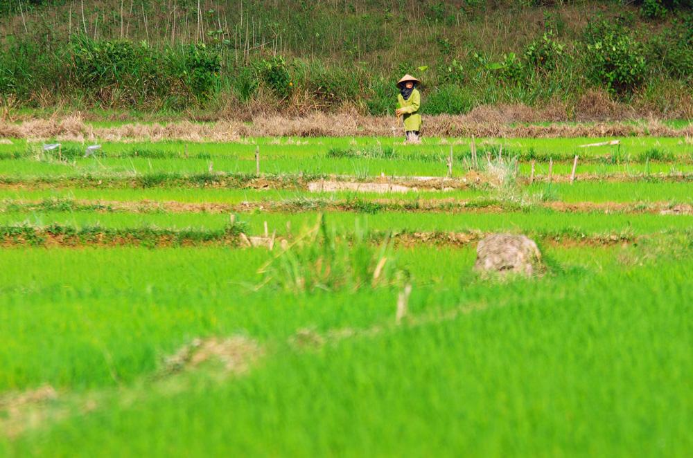 C'est un travail difficile que de cultiver le riz sous ces chaleurs. Les femmes se couvrent, elles n'aiment pas trop s'exposer au soleil. Le « chapeau chinois » aide pour beaucoup dans cette mission.