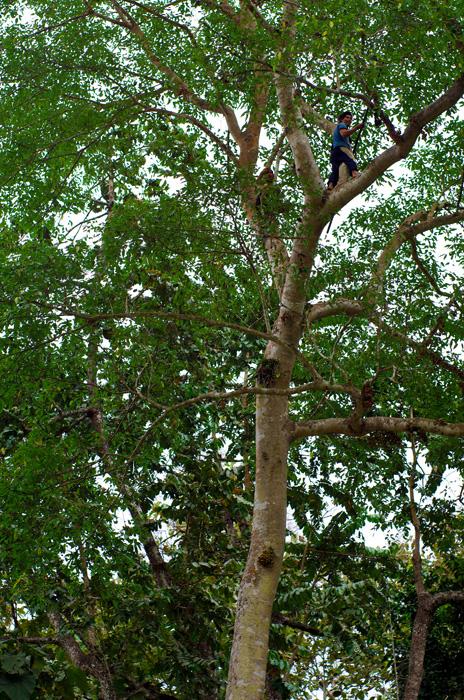 Encore un vertigineux cueilleur de fruit. À plus de 15 mètres de haut, aidé de simples gros clous en guise de marches le long du tronc, cette homme singe restera plus d'une heure en haut de son perchoir, d'où il décrochera des centaines de fruits avec sa longue perche. C'est surtout quand il descend que l'on peut voir le danger de cette pratique, car même avec l 'expérience, il prend son temps et se montre clairement plus serein une fois les pieds au sol.