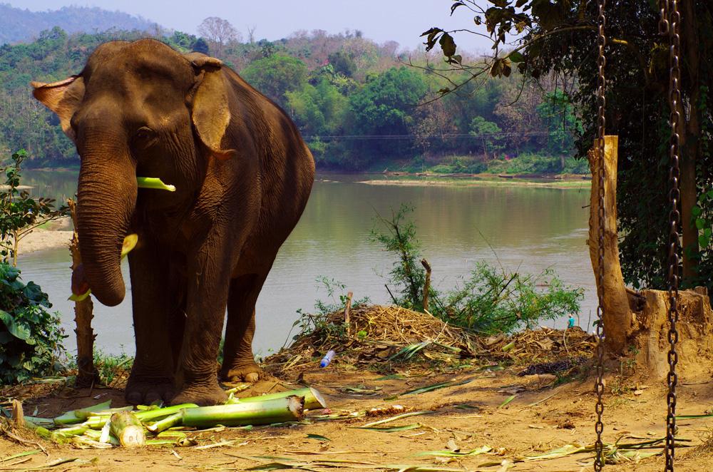 L'éléphant est l'animal mascotte du Laos. Ce pays autrefois surnommé le « pays du million d'éléphants » n'en compte plus qu'un millier, parmi lesquels environ 470 sont domestiques et le reste sauvages. L'éléphant est symbole de fertilité, de puissance, de sagesse et de sacralité dans de nombreux pays. On retrouve dans l'imagerie populaire et religieuse d'Asie l'éléphant sous de très nombreuses formes et ses représentations sont innombrables...