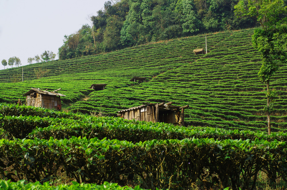 La Chine est le premier producteur de thé mondial avec environ 1 million de tonnes par an, soit quasiment 30 % de la production mondiale. Le Yunnan, cet état frontière avec du sud de la Chine que nous avons traversé, compte pour beaucoup dans cette production. C'est donc sans surprises que nous découvrons des versants entiers de montagnes remplis de ces rangées de petits arbustes verts. Un nouveau type de paysage qui n'est pas pour nous déplaire.