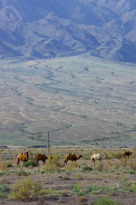 Vivant seulement en Chine et en Mongolie, le chameau sauvage est en extinction dans le monde (son nombre est inférieur à celui des pandas géants). Il vit principalement dans la région du lac Luobupo du Xinjiang, et le nombre pourrait être moins de 500 têtes.