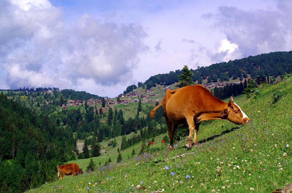 Un village perché à 2000 m d'altitude sur les hauteurs de la Géorgie nous rappelle nos Alpes françaises avec les vaches pour icônes.