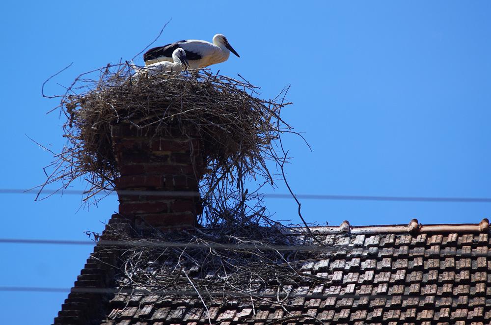 Une cigogne blanche qui a fait son nid sur une cheminée. Comme nous, elle passe son été en Europe. Elle repartira vers l'Afrique à l'automne.